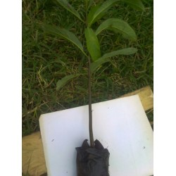 Grafted Fuerte Avocado Tree Seedlings