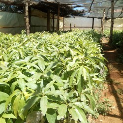 Golden HASS avocado tree seedlings