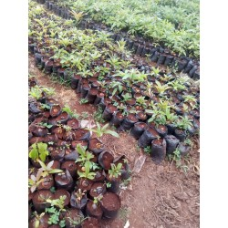 Grafted Hass Avocado Variety Seedlings